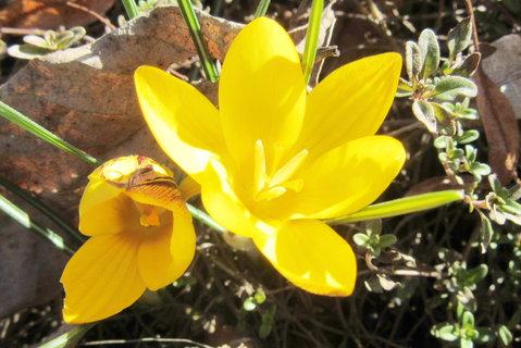 FOTKA - březnové žluté krokusy