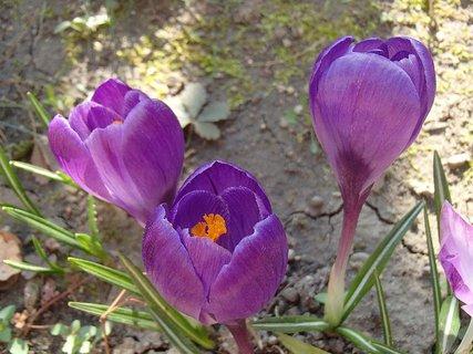 FOTKA - trio fialových krokusov