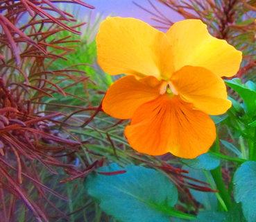 FOTKA - malá oranžovka