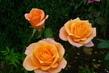 růže 91