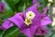detail květu bougenvillie