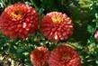 chryzantémy cihlově červené