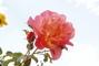 růžový sad - 8.