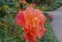 růže - 6 -