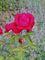 růže  - 7 -