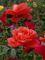 růže  - 8 -