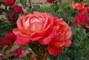 růže  - 9 -