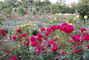 růže - 10 -