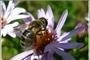včela- zbytky léta