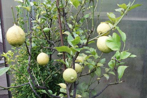 FOTKA - budu sklízet citrony