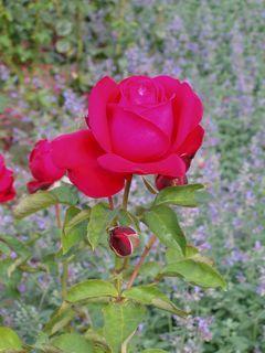 FOTKA - růže  - 7 -