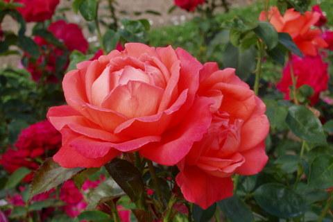 FOTKA - růže  - 9 -
