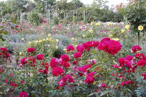 FOTKA - růže - 10 -