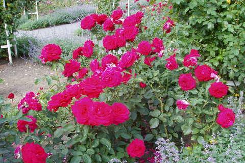 FOTKA - růže *1*