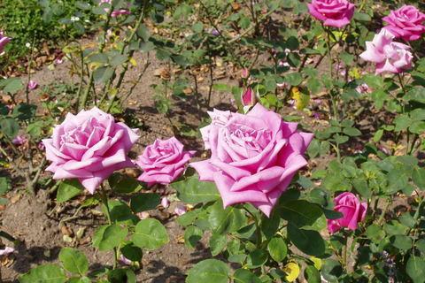 FOTKA - růže *2*