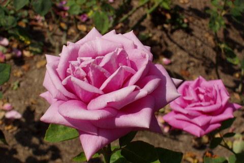 FOTKA - růže  *4*