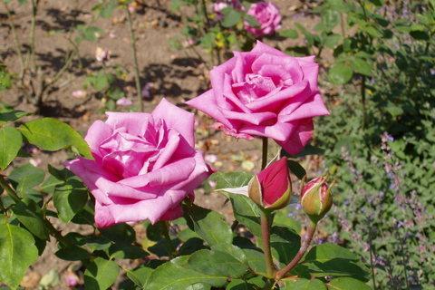 FOTKA - růže  *5*