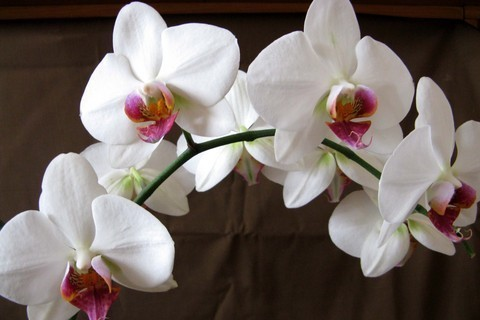 FOTKA - Orchidej miláček