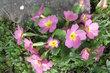 růžové u skalky