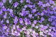 kobereček květů