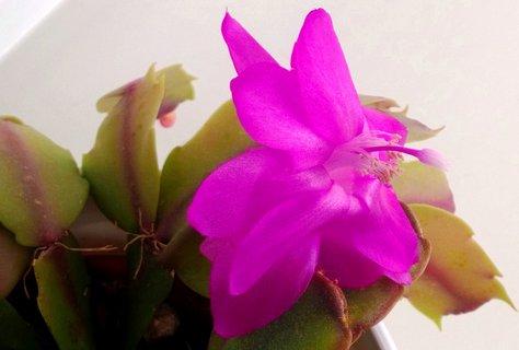 FOTKA - detail květu v. kaktusu