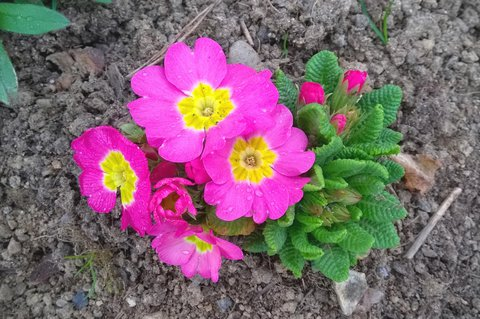 FOTKA - růžová primulka