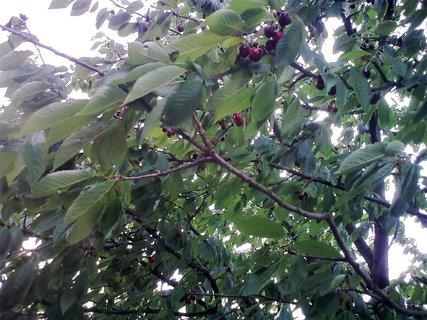FOTKA - jo třešně zrály