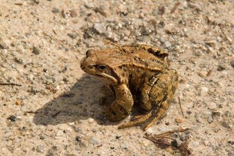 FOTKA - Ještě zimní procházka k Triefen - Žába na cestě