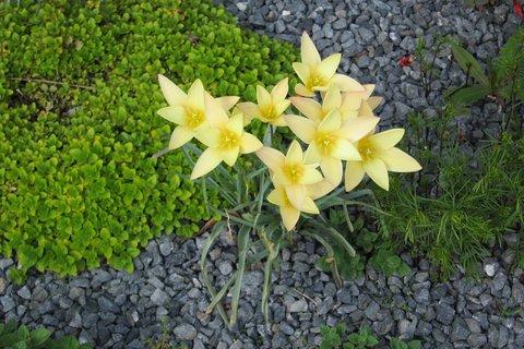 FOTKA - Upravené záhonky před paneláky - detail na tulipánky