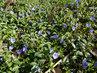 Modrozelený polštářek - barvínek (20.4.)