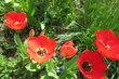 naše rudé tulipánky