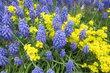 modrá a žlutá