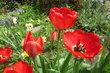 tulipánkovo