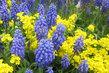 modrá a žlutá na záhonku