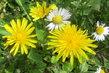žluté a bílé v trávníku