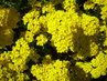 Žlutý kopeček