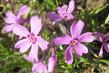 kvetou mi na zahradě