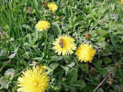 FOTKA - tohto roku je vela včeličiek....