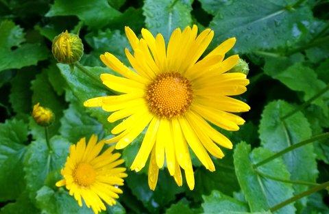 FOTKA - květ kamzičníku
