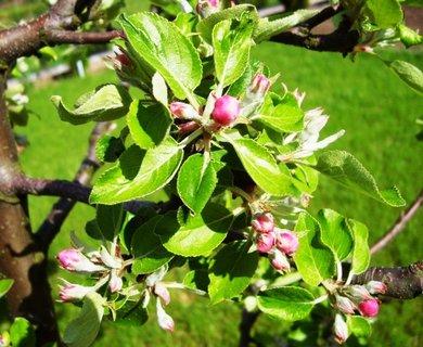 FOTKA - poupátka na mladé jabloni