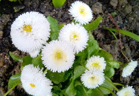 FOTKA - běloučké zahradní sedmikrásky