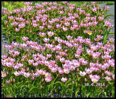FOTKA - Koberec tulipánků