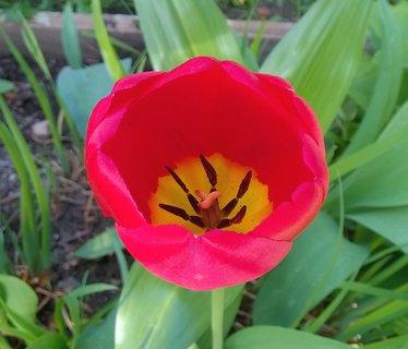 FOTKA - rozkvétající červený tulipán