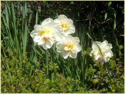 FOTKA - Narcis plnokvětý