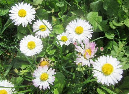 FOTKA - sedmikrásy zdobí trávník