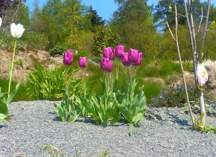 FOTKA - Tmavě růžové tulipány