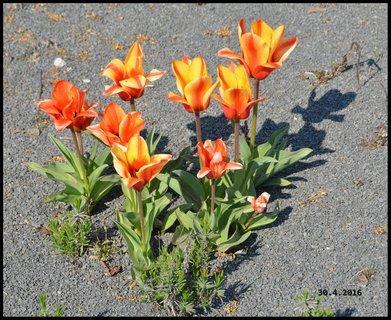 FOTKA - Tulipány na čediči