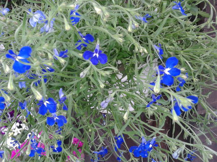 FOTKA - Modře kvete