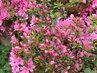 Růžová azalka na skalce (12.5.)