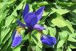 na zahradě ..iris
